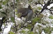 Townsend's Warbler Millennium 4-28-2016-7363