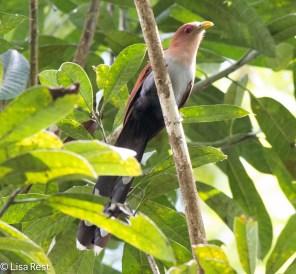Black-Bellied Cuckoo 7-6-2016-5152