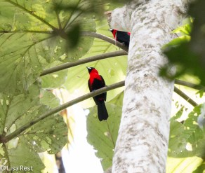 Silver-Beaked Tanagers 7-06-2016-5140