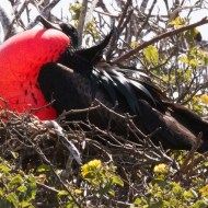 magnificent-frigatebird-7-11-16-7290