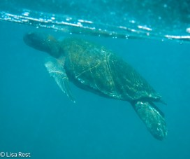 galapagos-green-turtle-7-12-16-0228