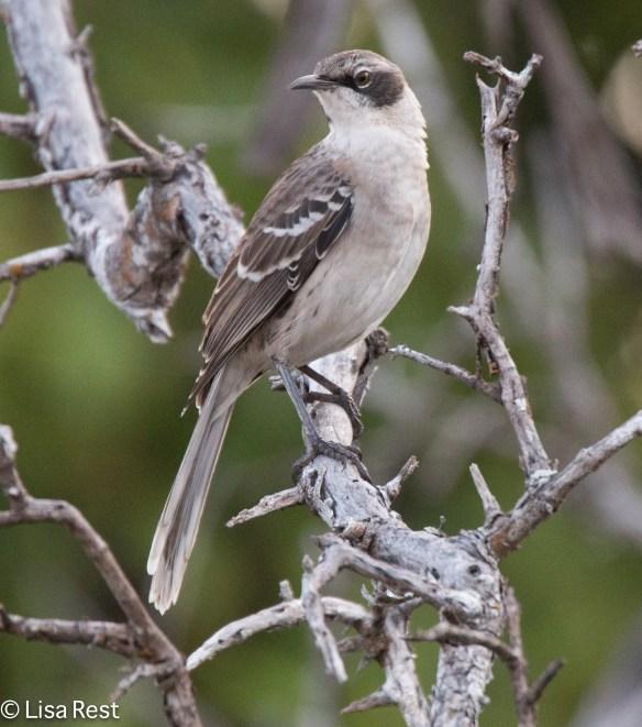 galapagos-mockingbird-7-12-16-7905
