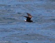 wedge-rumped-storm-petrel-07-14-2016-5804