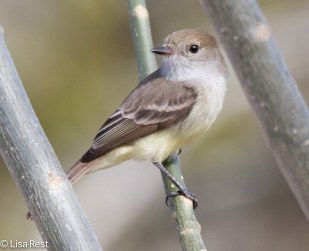 galapagos-flycatcher-07-15-2016-6726