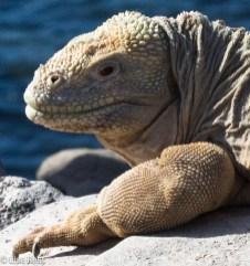 galapagos-land-iguana-07-15-2016-6994