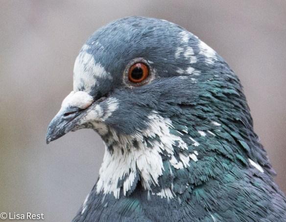 pied-pigeons-millennium-1-19-17-6380