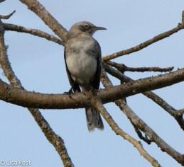 san-cristobal-mockingbird-07-15-2016-6430