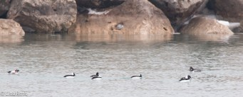 bufflehead-and-greater-scaup-gull-frolic-2-11-17-8174