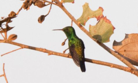 cropped-rufoustailed-hummingbird-3-13-17-0894.jpg