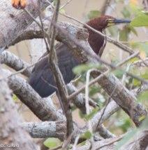 Rufescent Tiger-Heron 3-13-17-1858