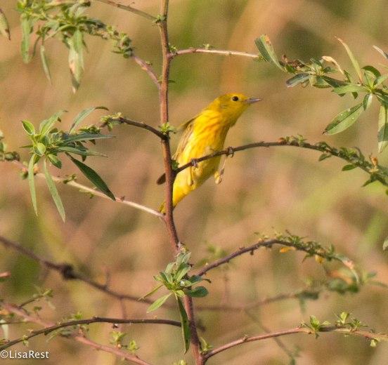 Yellow Warbler 3-13-17-2103