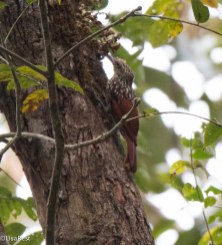 Black-Striped Woodcreeper 3-14-17-2429