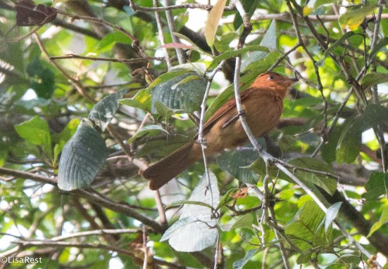 Rufous Mourner 3-14-17-2322