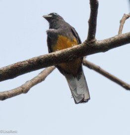 White-Tailed Trogon 3-14-17-2467