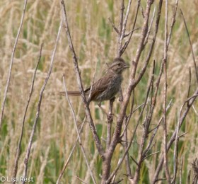 Unidentified Sparrow 07-16-17-6351