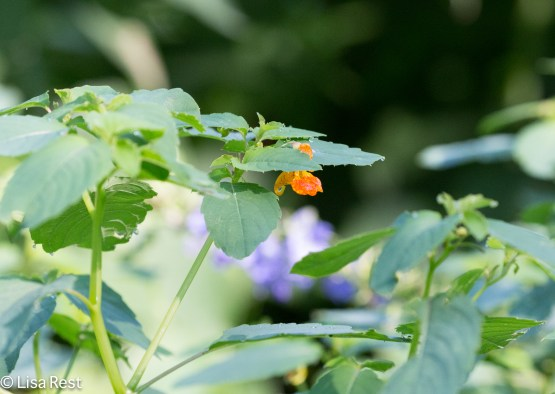 Jewelweed Portage 08-05-17-7229