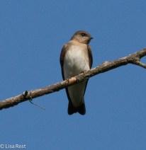Northern RW Swallow Big Marsh 07-30-17-6952