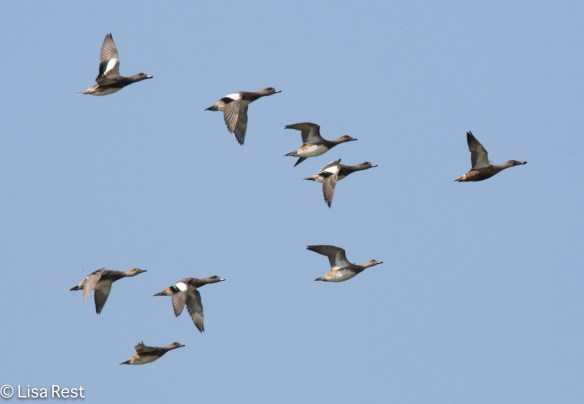 Shoveler followed by Wigeon McGinnis 09-17-17-8293