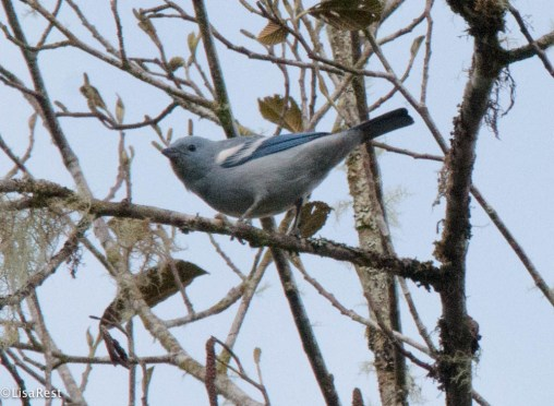 Blue-Gray Tanager 11-21-2017-0108
