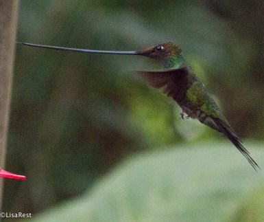 Sword-billed Hummingbird 11-19-2017-8469