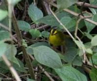 Black-Crested Warbler San Isidro 11-23-17-0716
