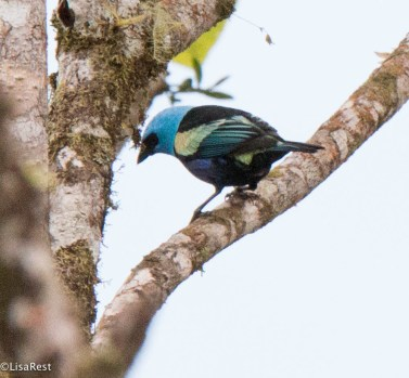 Blue-necked Tanager 11-24-2017-1495