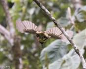 Chestnut-Eared Aracari 11-24-2017-1862