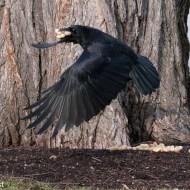 Crow 02-25-2018-6336