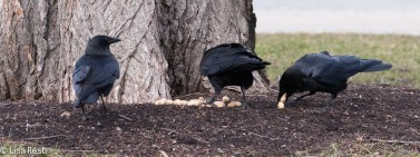 Crows 02-25-2018-6372