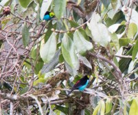 Paradise Tanager 11-24-2017-1309