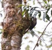 Strong-billed Woodcreeper 11-23-2017-0572