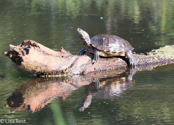 Painted Turtle 2-24-18-5389