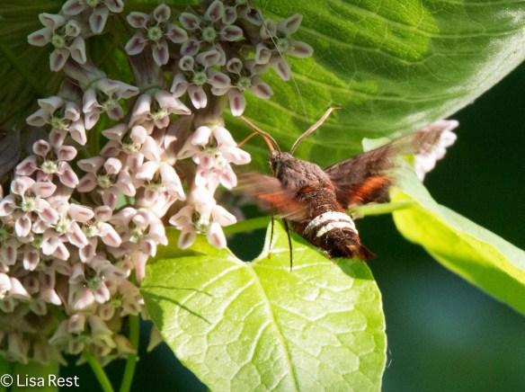 Sphynx Moth 2-24-18-5529