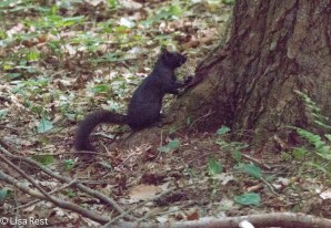 Black Squirrel 7-17-18-7029