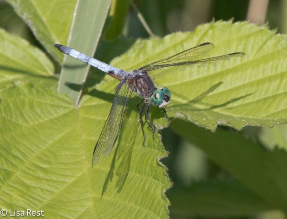 Blue Dasher 7-7-18-6315