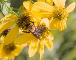 Bumblebee 8-31-18-8508
