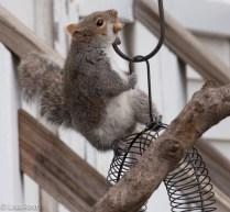 Squirrel 12-27-2015 -8814