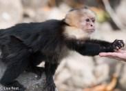 Capuchin Monkey 02-25-2016-3130