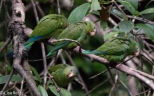 Cobalt-Winged Parakeets 07-04-2016-4322