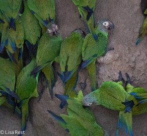 Cobalt-Winged Parakeets 7-4-2016-4108