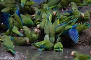 Cobalt-Winged Parakeets