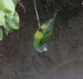 Dusky-Headed Parakeet 07-04-2016-4089