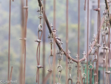 Pied Puffbirds 07-07-2016-5282