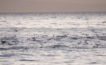 seabirds-off-the-back-of-rhe-boat-7-10-2016-6497