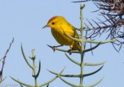 yellow-warbler-7-10-2016-5165