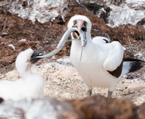 nazca-booby-and-chick-7-11-16-7249