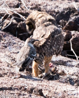 owl-and-mockingbird-7-11-16-7177