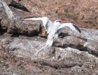 red-billed-tropicbird-7-11-16-6897