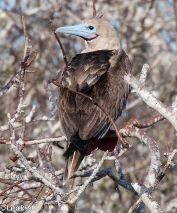 red-footed-booby-7-11-16-6714