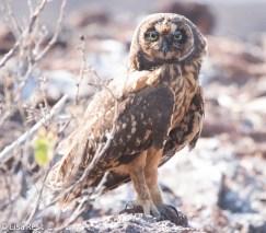 short-eared-galapagos-owl-7-11-16-7097